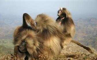 Grooming Gelda Baboons