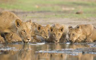Lion's Drinking at the Watering Hole