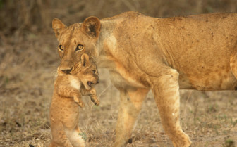 Zimbabwe Lion and Cub