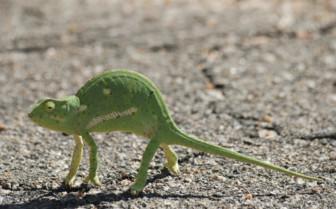 Chameleon in Hwange