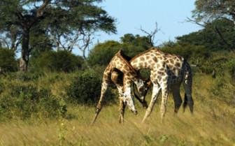 Two Giraffes Locking Necks in Zimbabwe