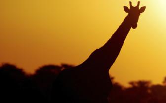 Silhouette of a Giraffe at Sunset