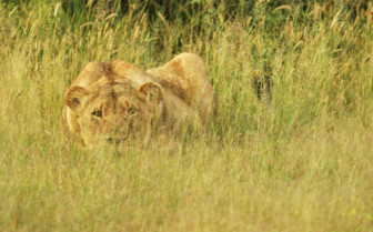 Lioness Hunting in the Grass