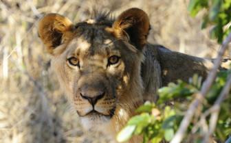 Lioness Gazing
