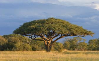 Savannah Tree in Hwange