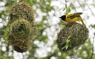 Village Weaver Nest in Hwange