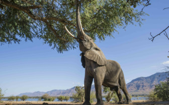 Victoria Falls Elephants