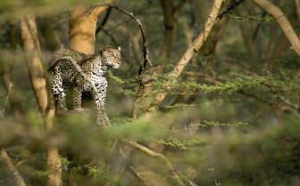 Leopard at Victoria Falls