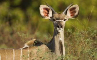 Greater Kudu to Mana Pools