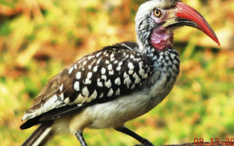 Red Billed Hornbill