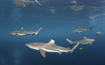 Black Tip Reef Shark in Papua New Guinea