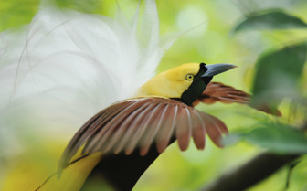 Bird of Paradise in Papua New Guinea