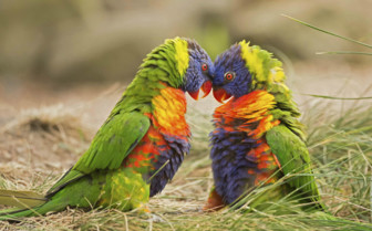 Rainbow Lorikeets in Papua