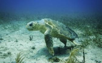 Loggerhead Turtle in Nicaragua