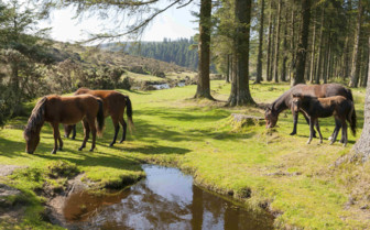 Ponies in Dartmoor National Park