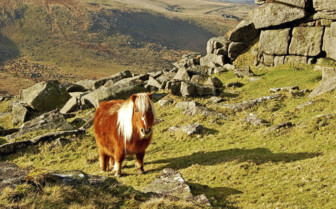 Pony in Dartmoor National Park