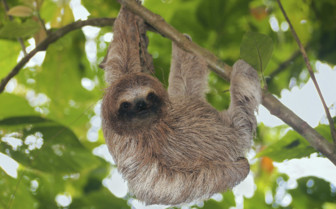 Sloth in Panama