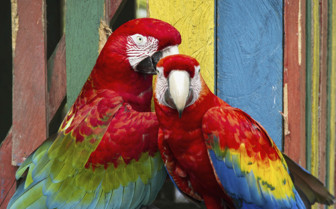 Parrots in Panama