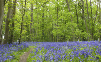 Bluebells in Suffolk