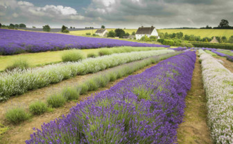 Lavendar Fields in the Cotswolds
