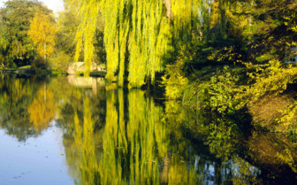 Thames Willow Tree