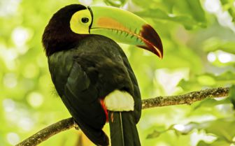 Keel Billed Toucan, Mexico
