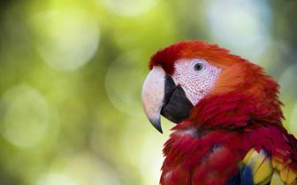 Honduras Parrot