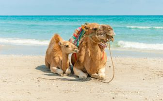 Camels on the Beach, Tunisia