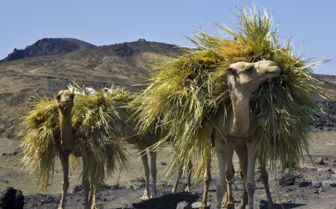 Camels, Djibouti