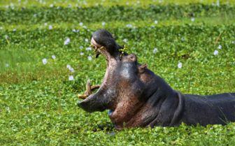 Hippo, Botswana