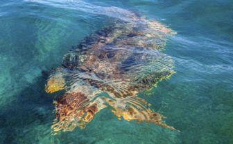 underwater sea turtle belizean coast