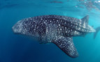 Picture of whale shark in Seychelles
