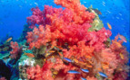 Picture of stunning soft coral in Beqa Lagoon