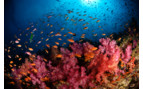 Picture of soft coral reef in Bligh Water