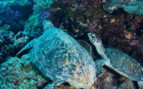 Picture of Hawksbill turtles at Palau