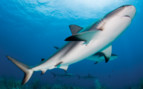 Picture of Caribbean reef shark Bahamas