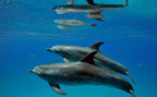 Picture of Spotted Dolphin Pair Bimini