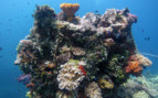 Picture of corals in Chuuk Lagoon