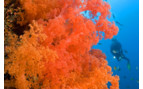 Picture of Soft coral Bohol