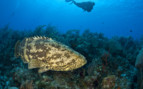 Picture of grouper and diver in Little Cayman