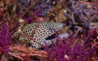 Picture of Spotted moray eel