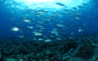 Picture of diving in Tubbataha reef