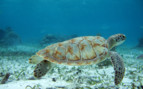 Picture of a green turtle in Belize