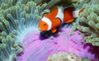Picture of an anemone fish in the Andaman Sea