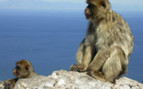 Barbary Macaques on a Rock in Gibraltar
