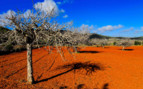 A Red Field with a Gnarled Tree in Ibiza