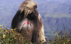 A Seated Baboon