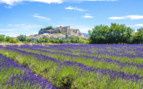Lavender fields on outskirts of town