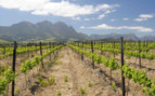 Vineyard of South AFrica
