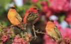 Red Foudi Birds